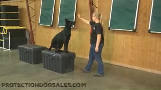 "Naked Black Beauty Super Star German Shepherd ""Coral"" 2 Yrs Dog For Sale"